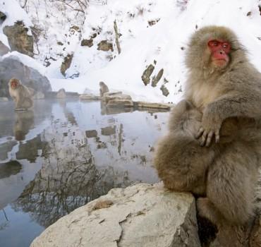 VS-1074-Japon-région de Yamanochi, Parc de Jigokudani, macaque Japonais