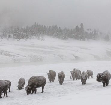 VS-1073-États Unis-Wyoming, Parc de Yellowstone, bison d'Amérique