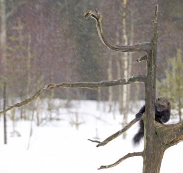 VS-1021-Finlande-Carélie du nord, Lieksa, glouton
