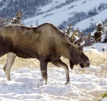 VS-1064-États Unis-Alaska, Parc National de Chugach, élan