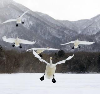 VS-1012-Japon-Île d'Hokkaïdo, Parc National d'Akan, lac Kussharo, cygnes chanteurs