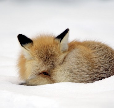VS-2011-b-Canada-Manitoba, région de Churchill, renard roux