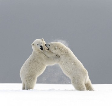 VS-2023-États Unis-Alaska, Kaktovik, ours polaire