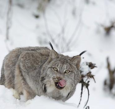 VS-2129-États Unis-Alaska, Lynx