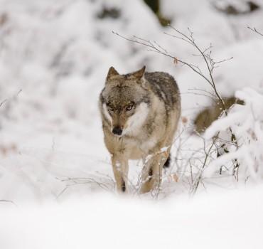 VS-1035-Allemagne-Bavière, Parc National de Neuschönau, Loup d'Europe